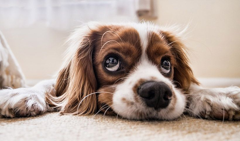 , Το εξελικτικό τρικ που χρησιμοποιούν τα σκυλιά για να «χειραγωγούν» τα ανθρώπινα συναισθήματα
