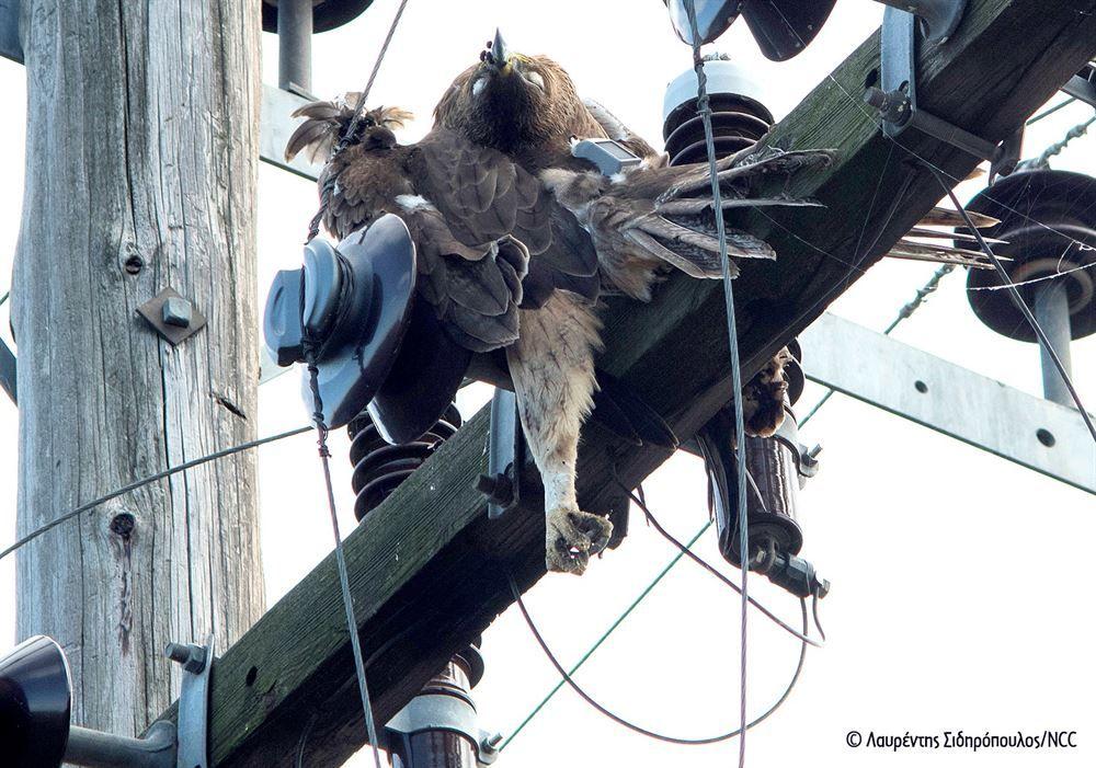 , Οι αετοί πεθαίνουν… στα ηλεκτροφόρα καλώδια – Ακόμα ένας νεαρός Σπιζαετός πέφτει θύμα ηλεκτροπληξίας